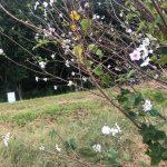 桜が咲いていたよ